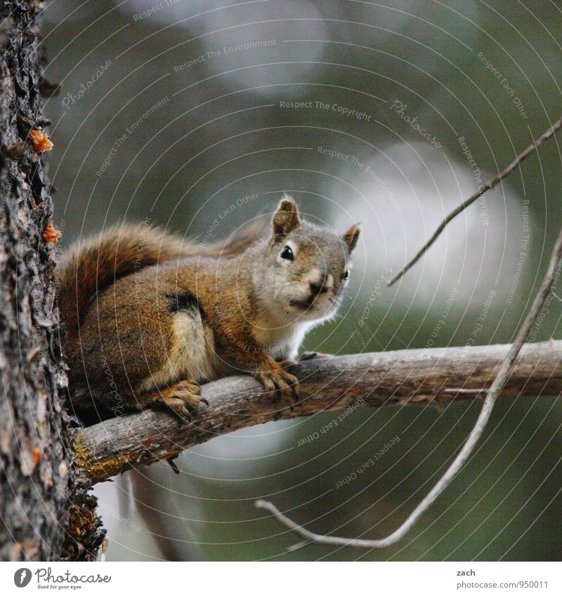 Everything at a glance Nature Animal Tree Coniferous trees Coniferous forest Forest Wild animal Rodent Squirrel 1 To hold on To feed Feeding Gray Cute