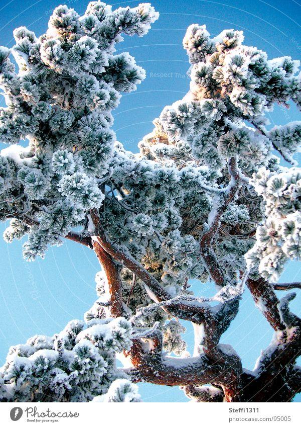 White Tree Blue Winter Cold Snow Ice Thin Finland