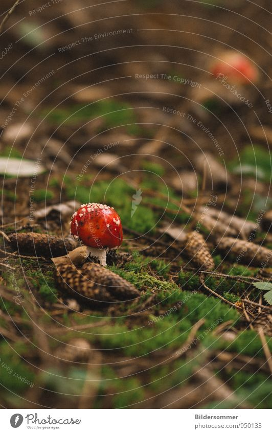. Nature Moss Cone Mushroom Amanita mushroom Forest Small Brown Green Red Happy Caution Poison Woodground Forest walk Mushroom picker Inedible Colour photo