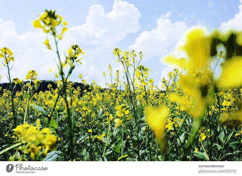 rapeseed Field Yellow Flower Summer Meadow Canola Sky close