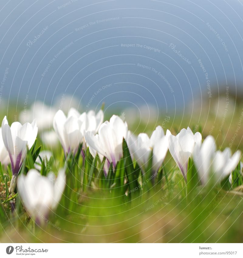 Spring awakening - Sorry delay! Crocus Flower Meadow Blossom Alpine pasture Mountain meadow Wake up Jump Pasture grassland