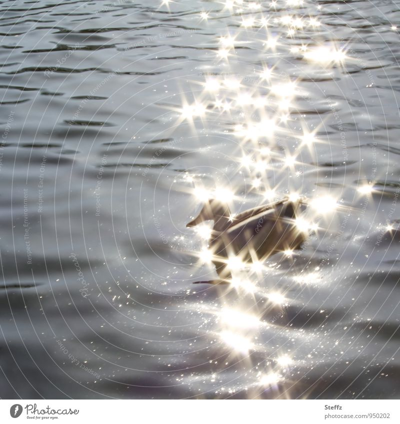 Nature Water Calm Animal Gray Lake Bird Glittering Illuminate Gold Joie de vivre (Vitality) Star (Symbol) Beautiful weather Pond Duck Visual spectacle