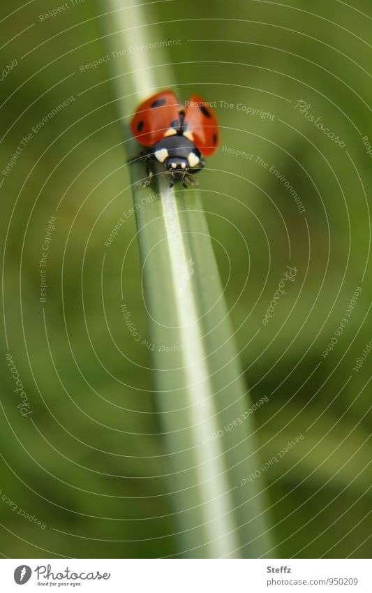 flying ready to go Nature Summer Grass Blade of grass Beetle Ladybird Crawl Green Red Happy Summer feeling Ease Reddish green Greeny-red In transit