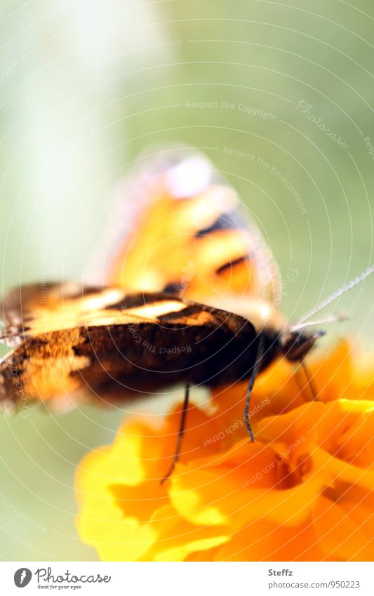Butterfly with light wing Noble butterfly butterflies Ease Easy colourful wings Shaft of light Mood lighting Flare Pastel tone Illuminating Grand piano Marigold