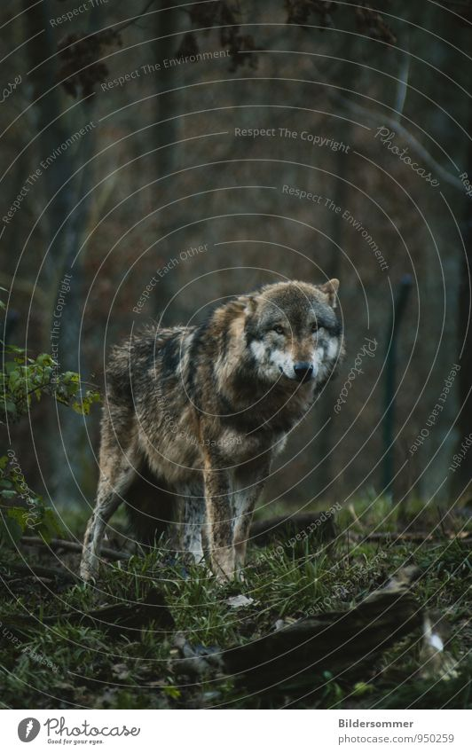. Tree Grass Bushes Forest Animal Wild animal Wolf she-wolf 1 Observe Looking Stand Threat Dark Soft Brown Gray Green Success Might Love of animals Fear