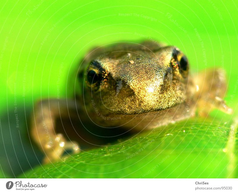 Water Green Eyes Animal Jump Spring Brown Flying Frog Pond Hop Amphibian Body of water Northern Forest Painted frog Quack