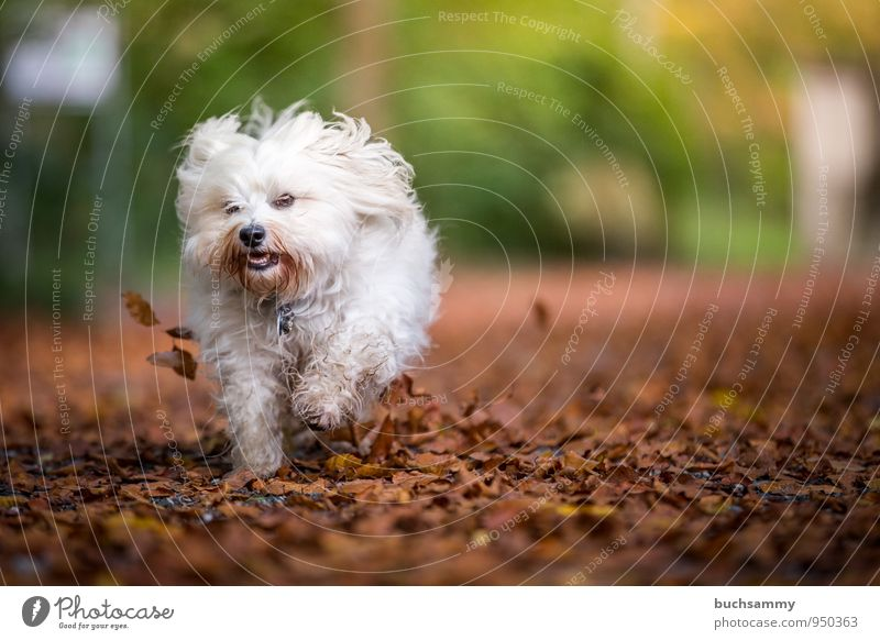Small autumn storm Joy Nature Animal Autumn Leaf Garden Long-haired Pet Dog 1 Funny Speed Brown Yellow Green White Havanese Seasons Action Running Colour photo