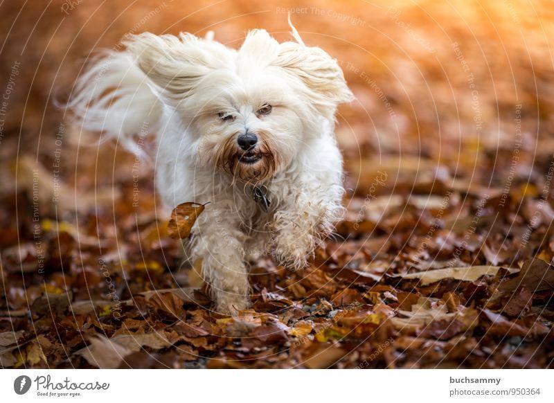 autumn foliage Joy Animal Autumn Leaf Long-haired Pet Dog 1 Funny Speed Brown Yellow White Havanese Seasons Action Running Colour photo Exterior shot