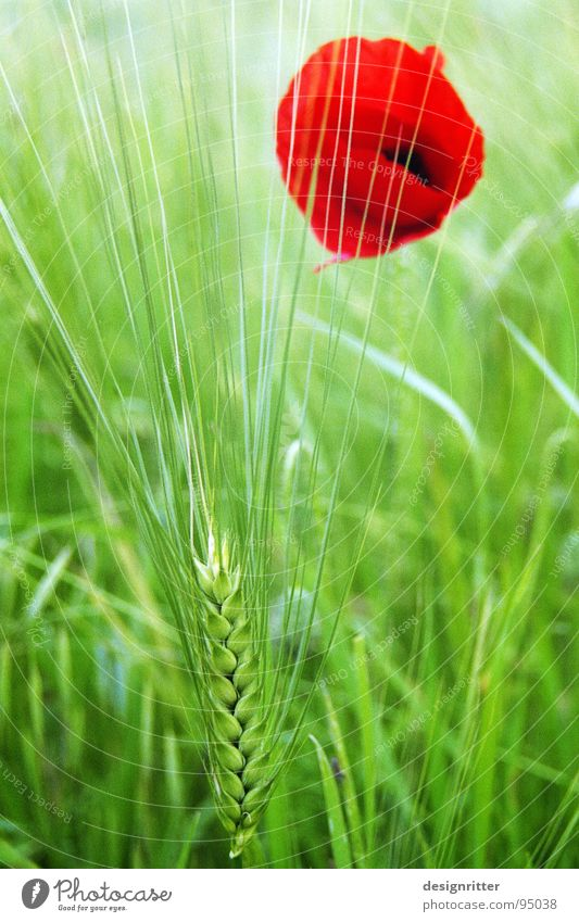 Flower Green Red Bright Grain Poppy Barley Medicinal plant
