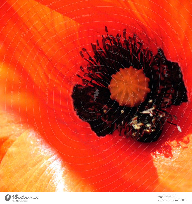 Plant Red Summer Blossom Orange Poppy Seed Pollen Pistil Stamen Nectar Corn poppy Flowering plant