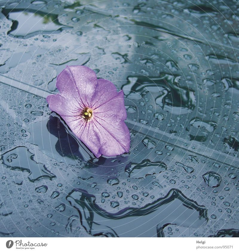 purple blossom lies on a blue table with raindrops Flower Blossom Petunia Violet Rain Wet Table Garden table Puddle Reflection Blossom leave To fall Delicate