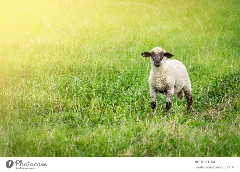 Lamb in the pasture Style Summer Baby Nature Sunlight Spring Autumn Meadow Field Animal Pet Farm animal 1 Sheep Pasture Grass Face Black Ear Green Colour photo