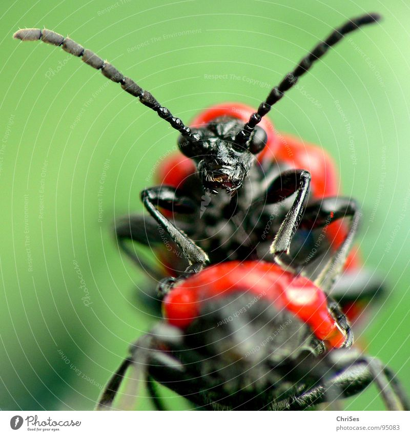 Lilioceris lilii_Pleasure or hard work Lily beetle Transport Rutting season Spring Red Green Black Propagation Insect Animal Lust Tighten Anger Frontal Monster