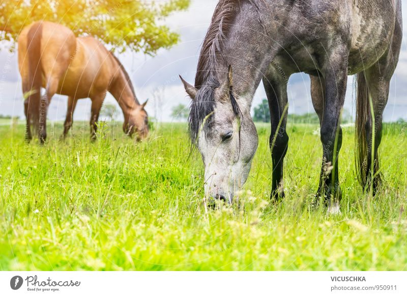 Grazing horses after the thunderstorm. Plant Animal Clouds Sun Sunlight Summer Beautiful weather Meadow Field Pet Farm animal Horse 2 Herd Pair of animals Green