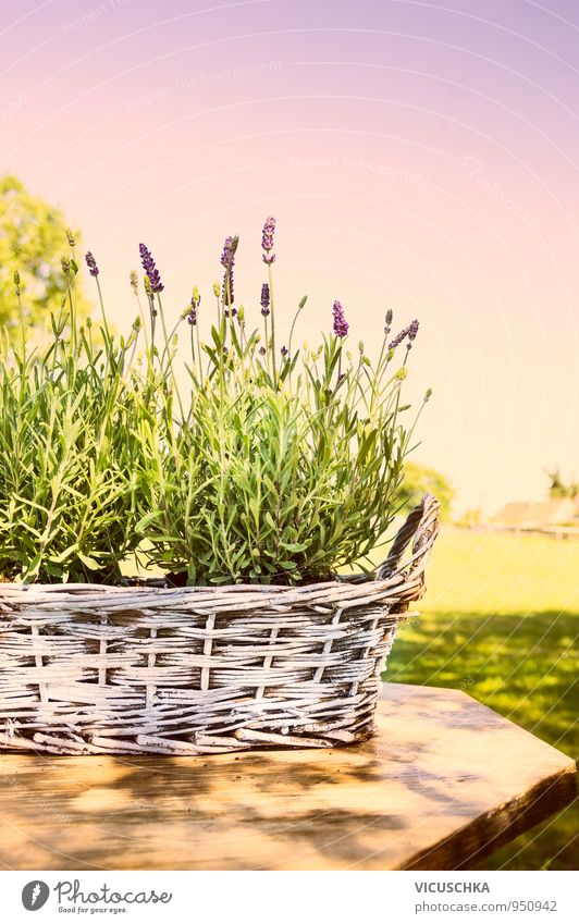 Lavender in old basket on table in the garden Lifestyle Style Design Relaxation Calm Fragrance Leisure and hobbies Summer Garden Nature Plant Sky Cloudless sky