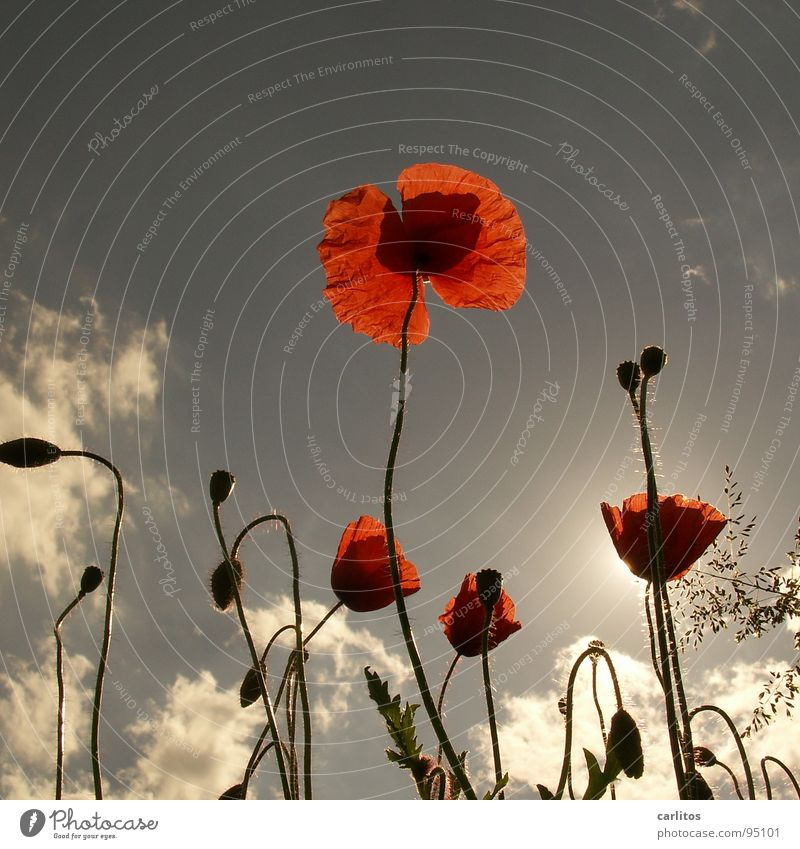 Sun Red Summer Meadow Blossom Grass Spring Warmth Field Physics Poppy Celestial bodies and the universe Corn poppy
