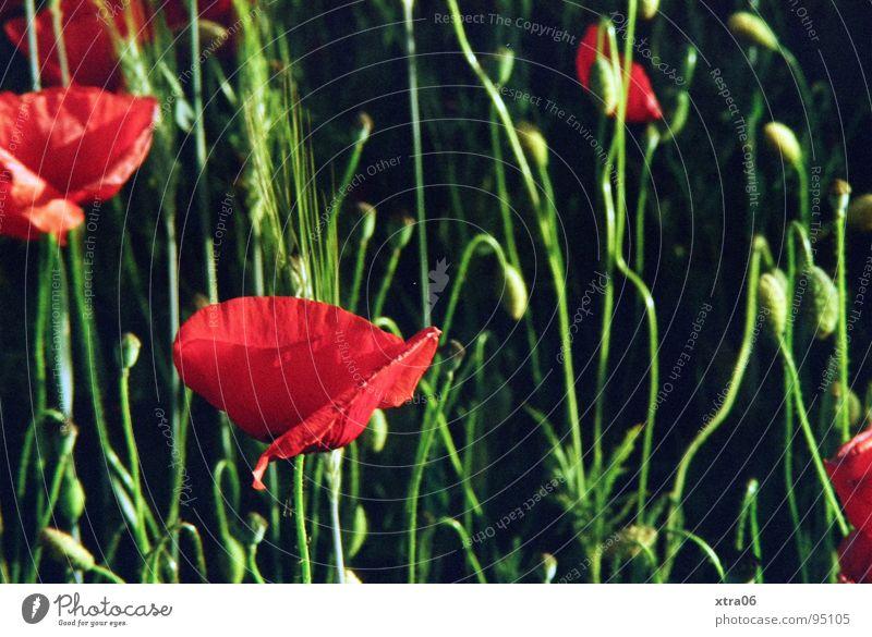 Flower Green Red Summer Meadow Blossom Poppy Poppy blossom