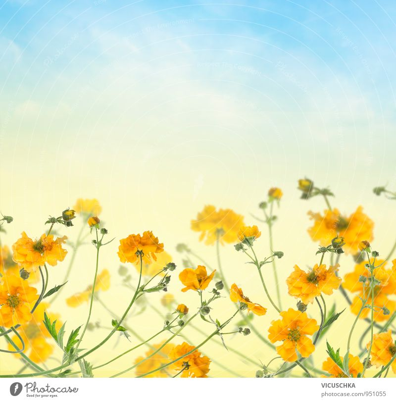 Flower background with yellow flowers in the blue sky Design Summer Nature Plant Sky Spring Beautiful weather Garden Park Bouquet Blue Yellow Background picture