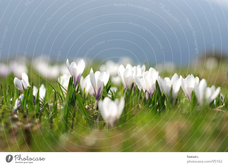 Spring in widescreen Alpine pasture Wake up Mountain meadow Jump Crocus Flower Meadow Blossom Power Force grassland Pasture