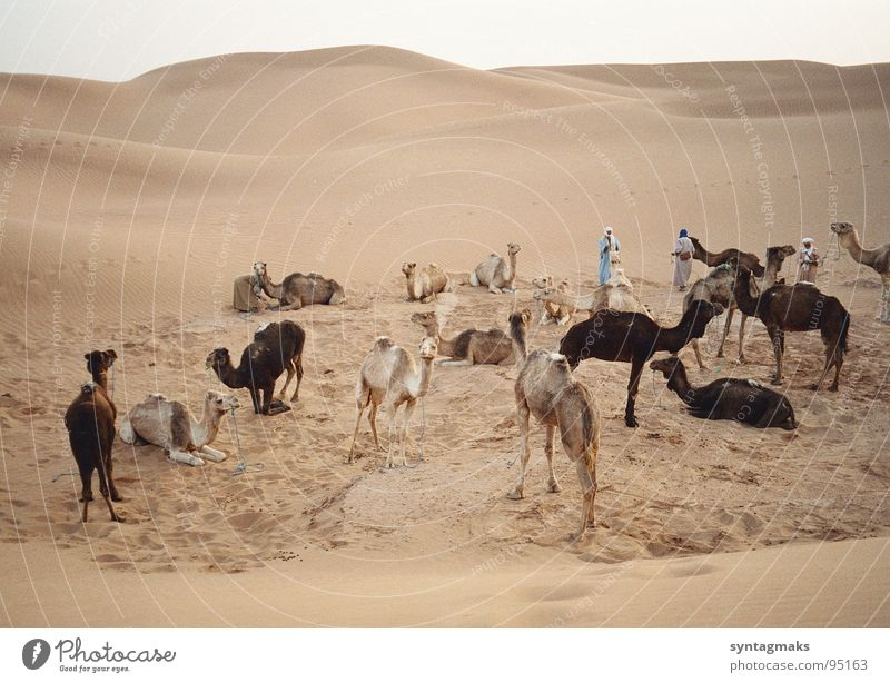 Calm Sand Earth Adventure Break Travel photography Africa Desert Africans Dune Mammal Camel Peaceful Morocco Closing time Dromedary