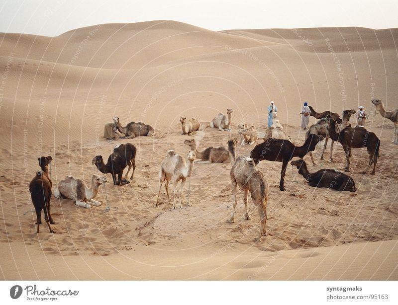 caravan rest Dromedary Closing time Calm Break Morocco Earth Sand Africa Mammal sandy desert Berber Evening unsaddled Peaceful quiet in the evening