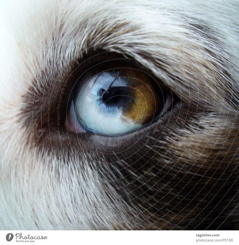 eye Australia Dog Animal Livestock breeding White Black Brown Dreamily Loyalty Cow markings Dog eyes Zoom effect Mammal Australian shepherd Shepard breeding dog