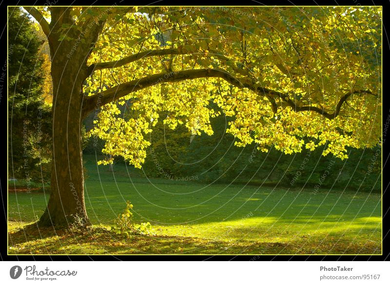 Nature Old Tree Green Leaf Yellow Forest Autumn Meadow Garden Park Fir tree Maple tree Celestial bodies and the universe