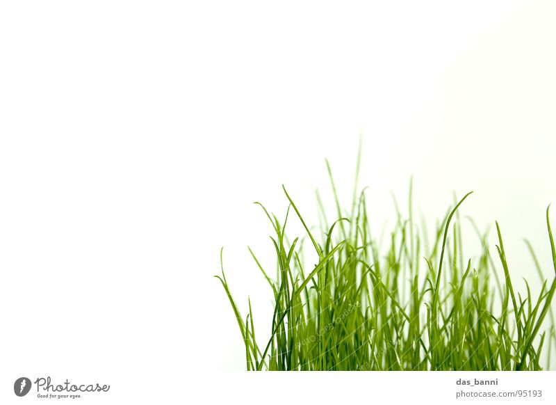 clean gras - space is luxury! Grass Blade of grass Bright background Copy Space top Tuft of grass Organic Verdant Grass green