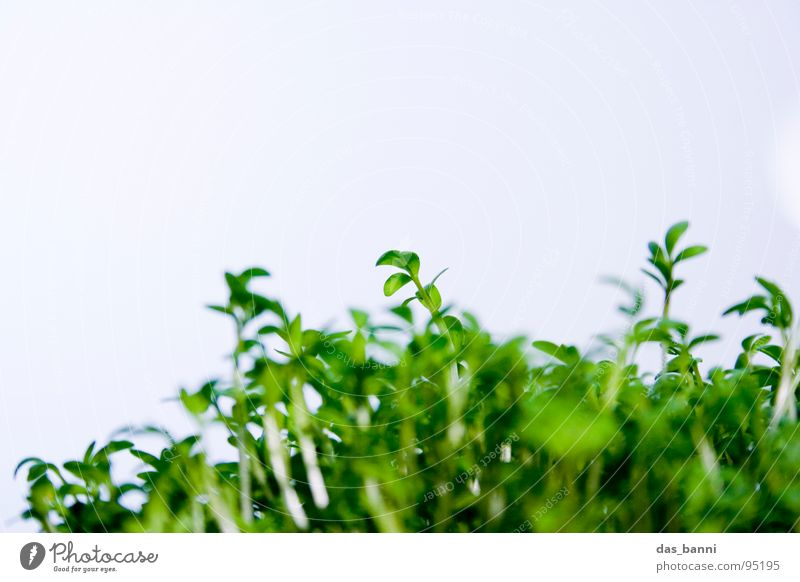 Herbs and spices Plant Leaf green Cress Bright background