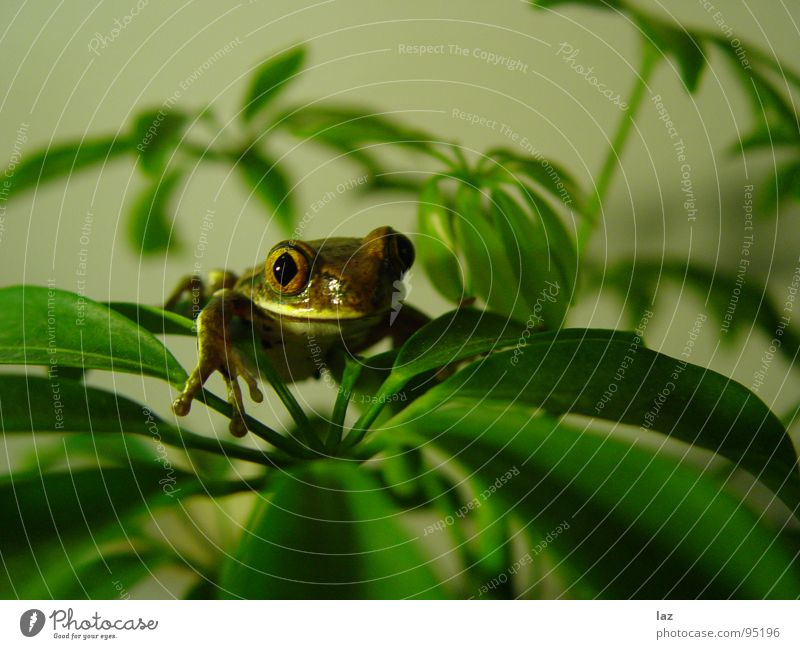 Green Plant Eyes Brown Skin Gold Kissing Frog Amphibian Disk South America Painted frog