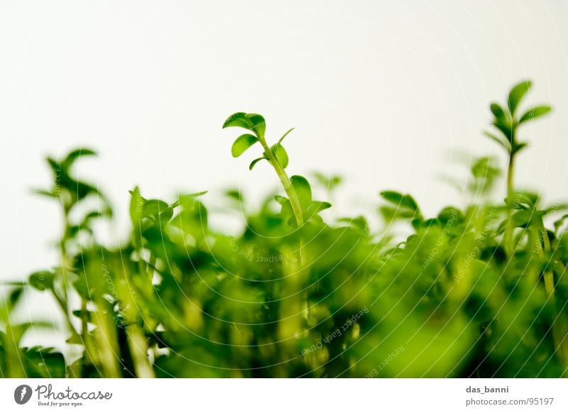 Plant Herbs and spices Leaf green Cress Bright background