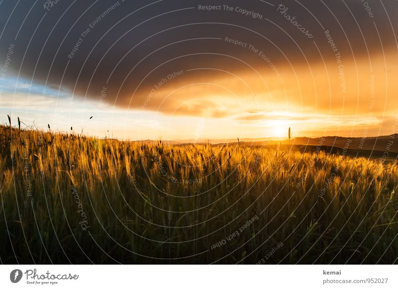 Golden Fields Environment Nature Landscape Plant Sky Clouds Sun Sunrise Sunset Sunlight Summer Beautiful weather Gale Agricultural crop Cornfield Barley