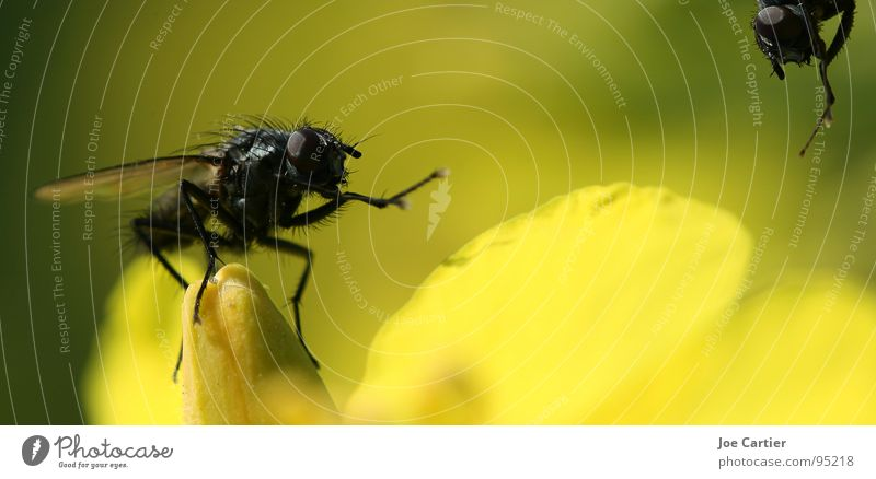 welcoming address Blossom Welcome Yellow Canola Insect Fly Macro (Extreme close-up) Wing