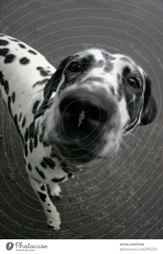 Animal Street Dog Leisure and hobbies Asphalt Mammal Tramp Dalmatian