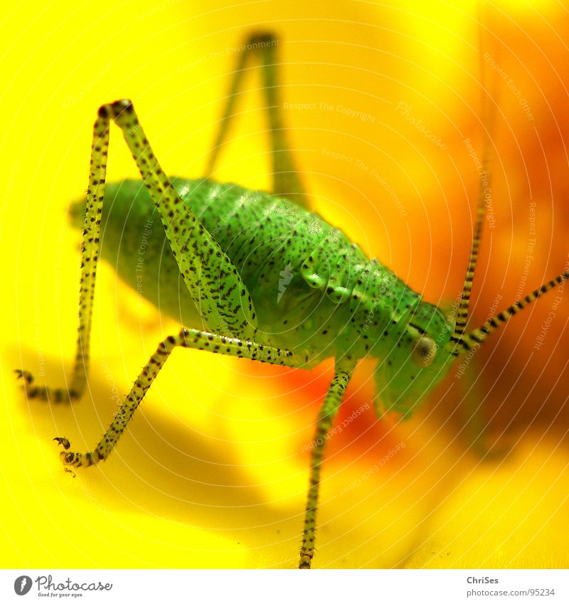 Green Summer Eyes Animal Yellow Grass Blossom Legs Insect Living thing Feeler Locust House cricket Polka dot Speckled bush-cricket