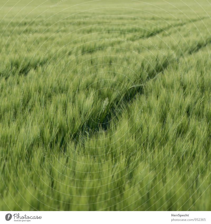 tracks Environment Plant Spring Summer Field Fresh Green Barley Barleyfield Barley ear Agriculture Grain Grain field Tracks Tractor track Ear of corn