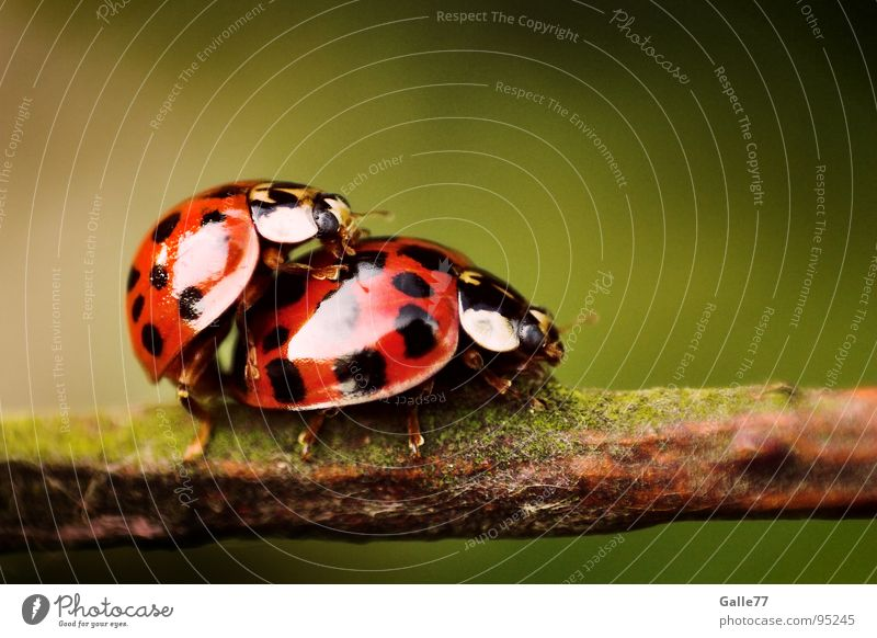 Animal 2 Together Pair of animals In pairs Point Lust Ladybird To board Insect