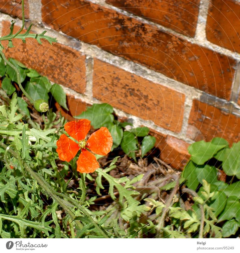 a real wallflower... Poppy Poppy blossom Small Blossom Stalk Green Red Wall (barrier) Brown Seam Gray Roadside Individual Flower Brick Loneliness Summer