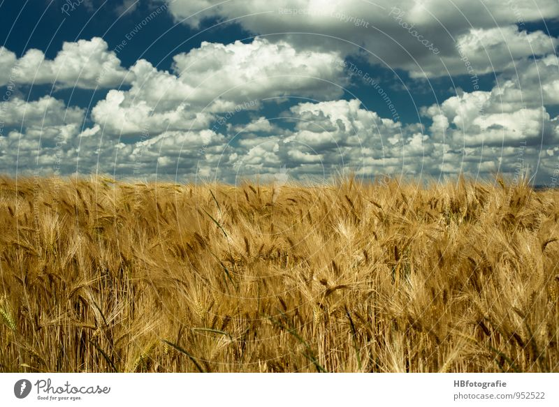 infinity Environment Nature Landscape Plant Sun Sunlight Summer Beautiful weather Warmth Agricultural crop Field Grain field Blue Brown Yellow Gold Moody Energy