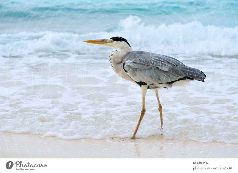 Grey Heron Style Exotic Relaxation Vacation & Travel Beach Ocean Island Waves Nature Animal Sand Water Coast Bird Blue Gray Turquoise Watchfulness Grey heron