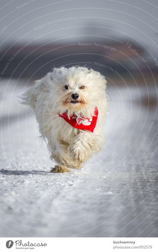 snowball Winter Animal Street Long-haired Pet Dog Pelt 1 Cold Speed White bichon Neckerchief Havanese Seasons Purebred dog Snow Running Colour photo