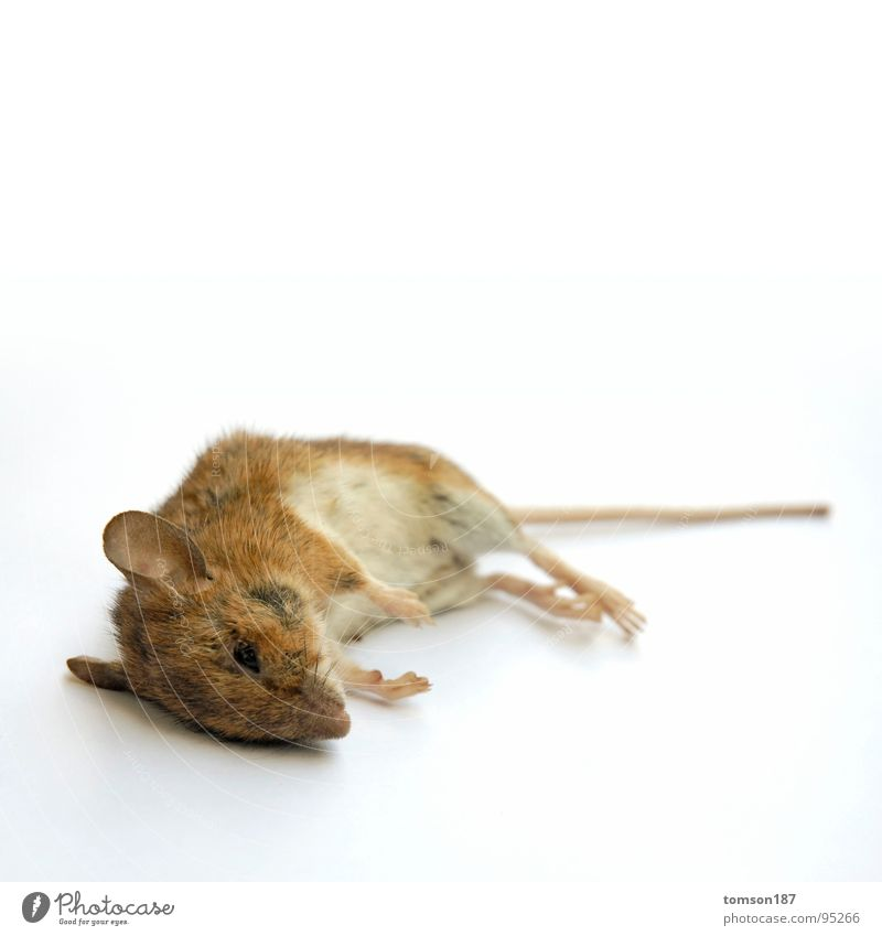 Animal Relaxation Death Breathe Mouse Mammal Rodent