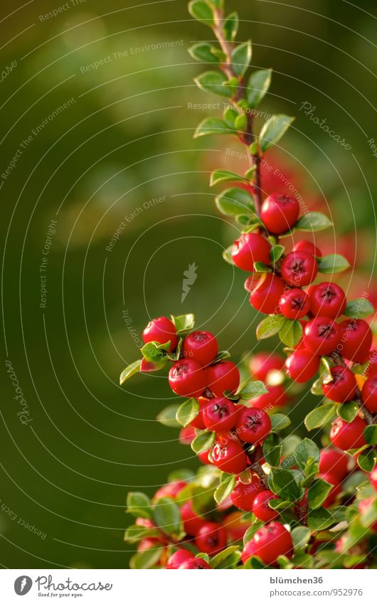 Nature Plant Green Red Leaf Autumn Natural Small Garden Park Growth Illuminate Decoration Bushes Twig Berries