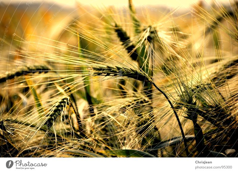 barley field Field Yellow Barley Evening Evening sun Lighting Moody Agra Agriculture Blade of grass Plain Niederrhein Sharp Working in the fields Ear of corn