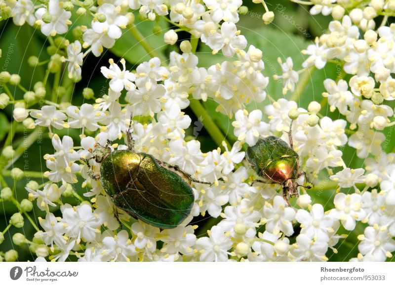 rose chafer Nature Plant Animal Summer Beautiful weather Tree Blossom Garden Wild animal Beetle Wing 1 Observe Flying To feed Sit Small Green White