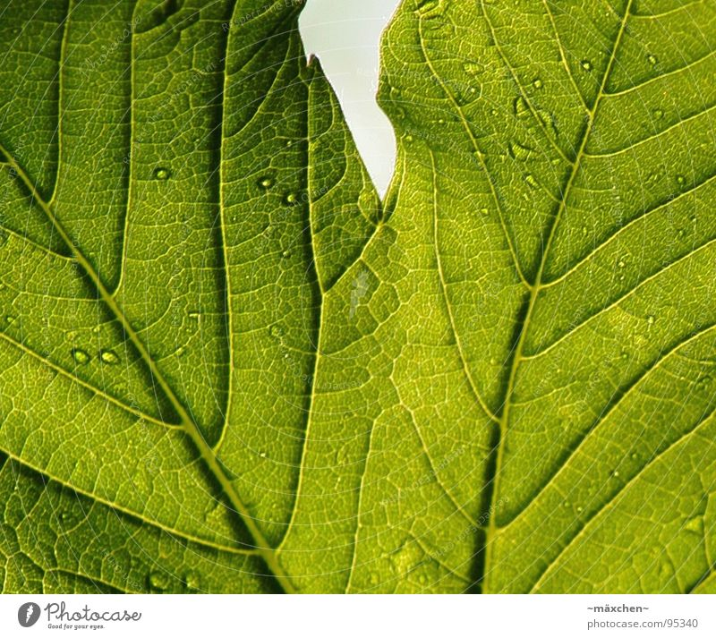 The signs of a sheet II Leaf Green Live Vessel Plant Tree Maturing time Life Drops of water Contrast Transparent Sign Growth