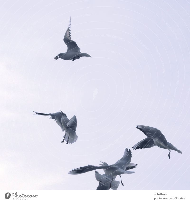 When four argue... Sky Sky only Cloudless sky Animal Bird 4 Group of animals Herd Flock Flying To feed Feeding Food envy Avaricious Seagull Gull birds Scream