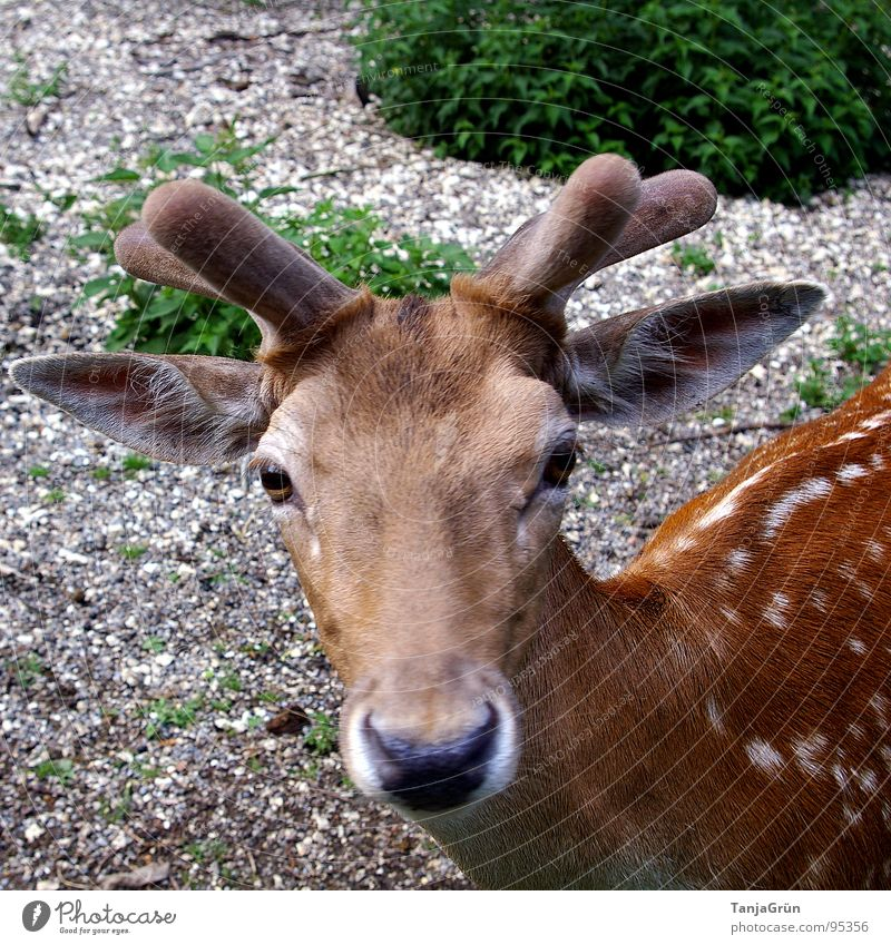 Green Beautiful Animal Eyes Brown Wild animal Bushes Soft Ear Curiosity Point Antlers Mammal Gravel Deer Snout
