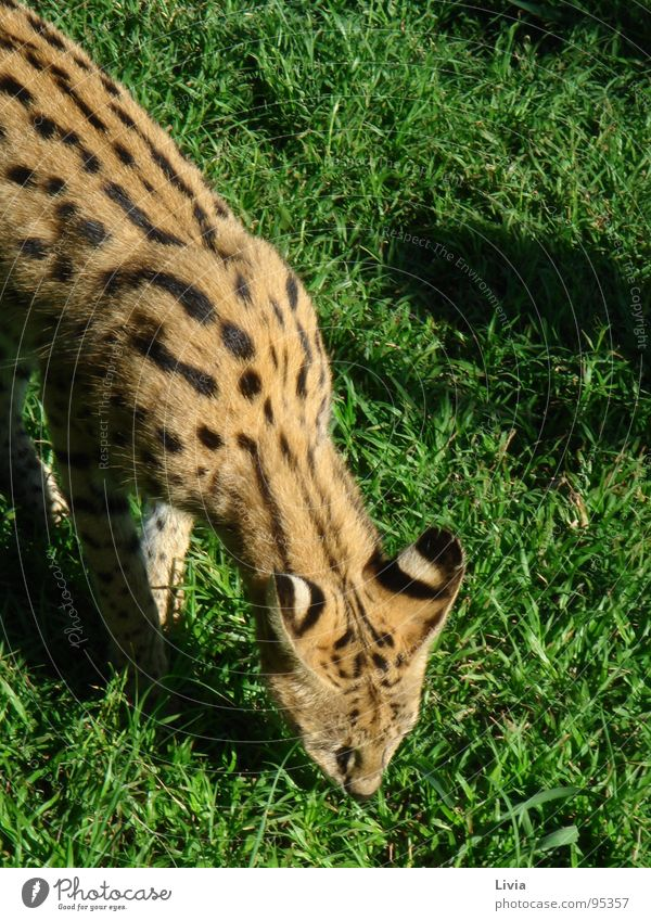 Nature Animal Cat Africa Wild animal Safari Feeding South Africa Big cat