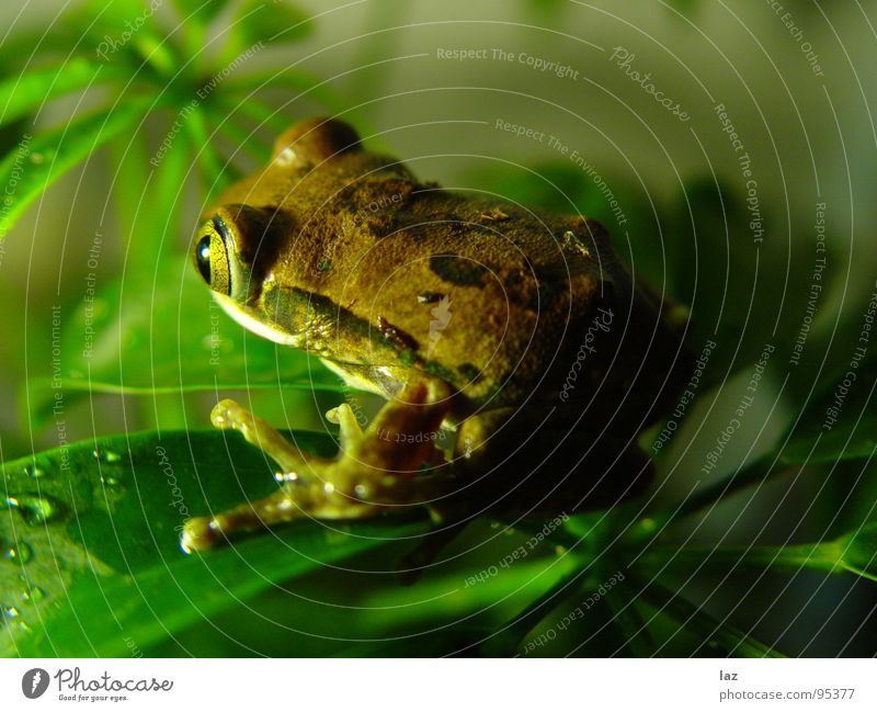 Don't be a frog Green Brown Plant Kissing Hop Jump Colour Pattern Beige South America Frog Painted frog Amphibian Disk Eyes skin respiration Gold ready to jump
